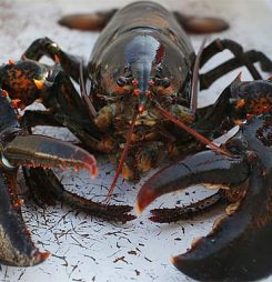 Thai Union plans to launch Canadian lobster from Chez Nous in China