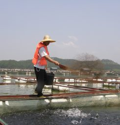 Chinese tilapia farmers look inward for new markets
