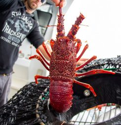 Australian rock lobster exporters gear up for Chinese New Year with pricing firm